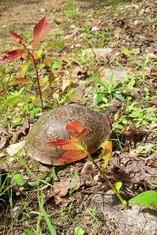 Box turtle, Missouri. Photo copyright Sara Firman 2013